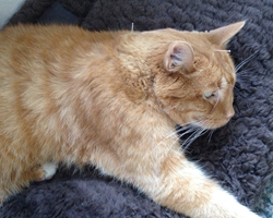 Elliot the cat relaxes during his acupuncture treatment.
